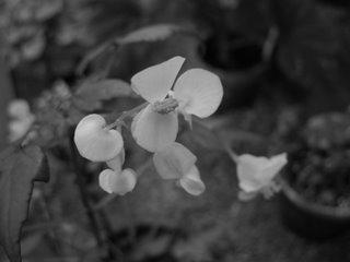 Botanikstudier - här i svartvitt
