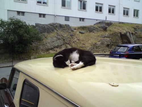 Världens lataste katt vilar sig lite på ett biltak.